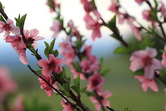 Springtime (DeoWaves) Tags: sf sanfrancisco flowers canon spring 7d bayarea springtime ef85mmf12liiusm httpwwwwixcommich670deowavesphotography