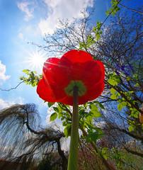 tulpe 1 (Bilderschreiber) Tags: flowers blue sky plants cloud sun flower garden spring view pflanzen perspective himmel wolke blumen gulliver tulip sunburst unusual grn blau goliath blume sonne garten blick perspektive frhling tulpe nachoben ungewhnlich