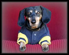 Nick 1996-2011 (Four Doxn) Tags: nick dachshund ev