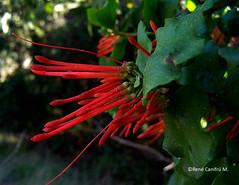 Tristerix corymbosus (Chilebosque) Tags: del maqui loranthaceae quintral tristerix corymbosus tristerixcorymbosus parsitas