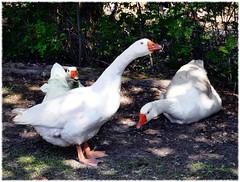Les trois oies (BrigitteChanson) Tags: geese oche oies gansos natureplus