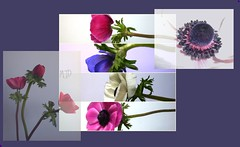 collage anemoni (maryateresa2001) Tags: flowers mtd collage fleurs spring anemone april fiori aprile avril sangue sanremo photoscape maryateresa collagephotoscape fleursdavril