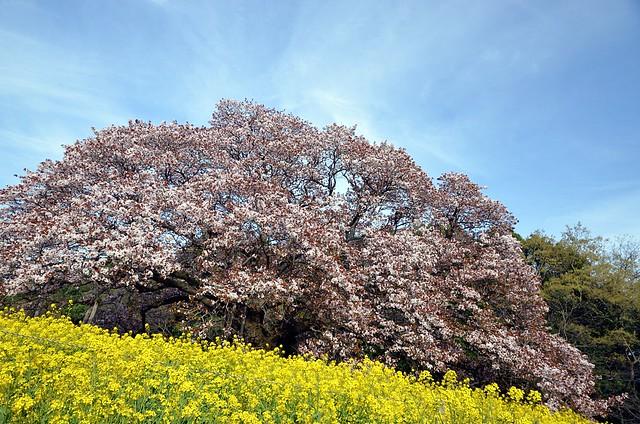 大桜 ~ Grand Cherry Tree