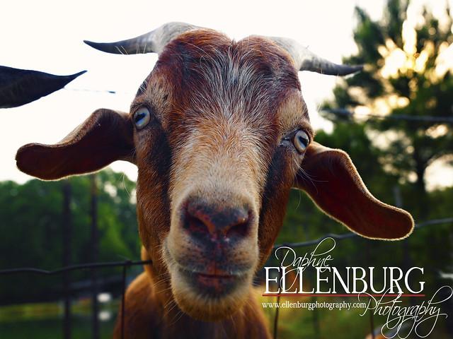 fb Goat-07mad