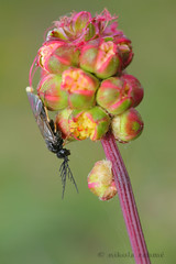 Resting I. (Nikola Rahme) Tags: macro nature insect hungary 21 handheld hymenoptera sawfly canoneos5d symphyta canonmpe65mmf28 sunpakrd2000flash