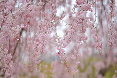Weeping cherry blossoms (myu-myu) Tags: flower nature japan nikon explore cherryblossoms サクラ explorefrontpage 枝垂れ桜 weepingcherryblossoms d700 近くの公園 planart1485zf2