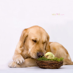 Happy Easter (VeryViVi) Tags: dog bunny goldenretriever canon easter spring sweet chick 7d doggy canoneos7d missvivigold veryvivi