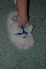 --- (six7777) Tags: bear dog white puppy teddy pomeranian miscapril2011