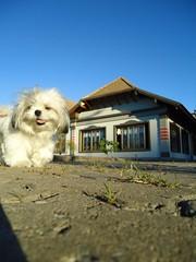 LOLA (dirceu1507) Tags: dog dogs cane shihtzu perro cachorro perros cachorros