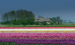 Tulip fields near Holwerd (Friesland - NL) (Noorderland) Tags: pink blue red white green netherlands yellow lumix purple tulips nederland friesland tulipfields frysln holwerd tz7 holwert noorderland awesomeblossoms zs3 panasoniclumixtz7zs3