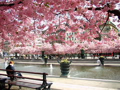 reading under the cherrytrees (Per Ola Wiberg ~ Powi) Tags: niceshot sweden stockholm harmony showroom april sensational soe cherrytrees fairplay musictomyeyes masterclass kungstrdgrden 2011 goldenvillage simplythebest simplybeautiful greatphotographers kungsan thegalaxy superphotographer magicofnature bej eliteclub flickrsilveraward heartawards soe2 wonderfulworldmix theperfectphotographer goldstaraward highqualityimage rubyphotographer qualifiedmembersonly yourarthastouchedtheworld theloveshack grupodehablahispana atouchofmagic ubej universalelite photographerparadise saariysqualitypictures visionaryartsgallery worldwidetravelogue ~contactgroup~ universeofnature andromeda50 flickrsgottalent visionaryartsgalleryplatinumgold visionaryartsgalleryelite perfectioninpictures mygearandme mygearandmepremium mygearandmebronze mygearandmesilver mygearandmegold kingdomphotography vangoghaward mygearandme3bronze hennysflowergarden thenaturessoul violafriendscollections ~~cherishyourdreamsandvisions~~ themagicofthenature whaticallart suchsmalldetails shieldofexcellencelevel2 dreamworks nossasvidasnossomundos majesticphotography alicessecretgarden lifeisgreatcestlavie adminsfavorites naturespoetry~~ clickapick