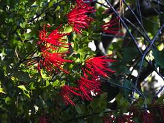 Quintral (Fipo_a_secas) Tags: arbol constitucion quintral plantaparasita