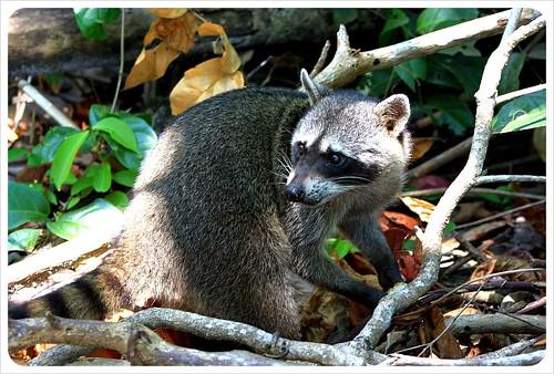 racoon in Manuel Antonio