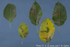 Golden Delicious apple leaves showing leaf blotch and yellowing associated with necrotic leaf blotch. Photo courtesy of T. B. Sutton, North Carolina State Univ. and A. L. Jones, Michigan State Univ.