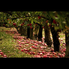 the fallen (apples) (badriza) Tags: trees canon square auckland fallen apples epal eso450d badriza