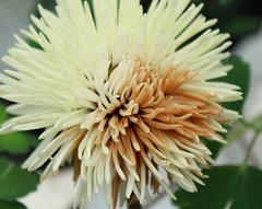 Double Trouble (LadyDragonflyCC - >;<) Tags: flower color macro canon spring stamen bloom april t3i 2011 600d kissx5 cimalacustomphotography