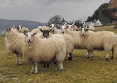 Sheep in the fields at Catacol Farm (shotlandka) Tags: scotland finepix fujifilm arran isleofarran catacol  platinumheartaward s1000fd mygearandme   dblringexcellence