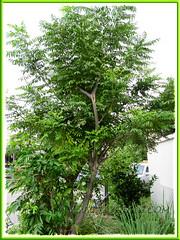 Murraya koenigii (Curry Leaf Tree), seen outside Stella Maris Holiday House, Penang