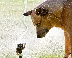 Parker and the Sprinkler  _R5W1886w (zingpix) Tags: red usa dog dogs jeff washington cattle  australian queensland australiancattledog heeler acd redheeler blueheeler whatcom herding allrightsreserved thelittledoglaughed zingpix jaquish