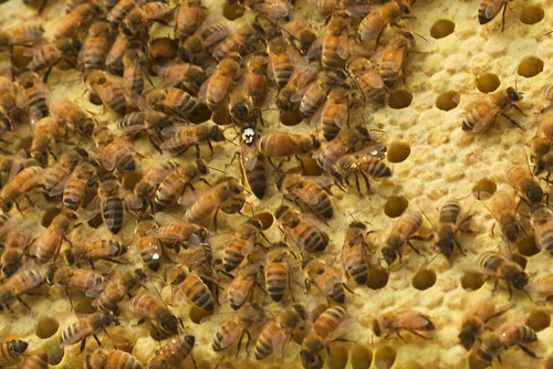 Queen Ramona on Capped Brood