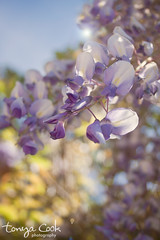 (tonya cook photography) Tags: blue light sky sunlight spring purple lensflare wisteria
