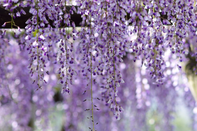 Lights on Wisteria