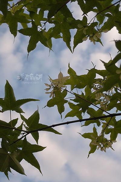 楓(槭)的果實:翅果