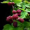 MÛRES (Fänfän) Tags: blackberry mûres fänfän moras frutosdelbosque ltytr1 fruitsdubois