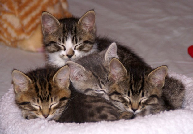 cute rescue tabby kittens sleeping group nap
