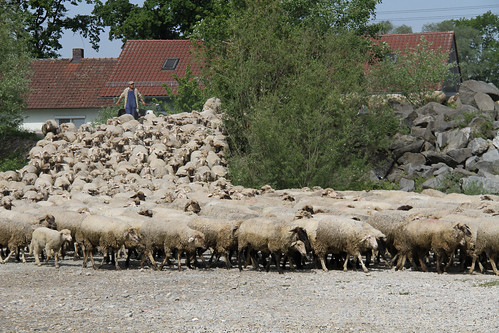Day 209: May 11, 2011: Sheep herding, Plattling style