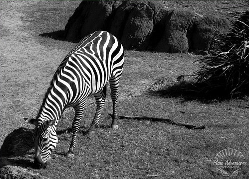 Number 22: Zebra at The Dallas Zoo