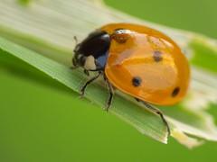 Ladybird with Orange Translucent Shell (Polpo86) Tags: orange raw finepix ladybird translucent hs20 dcr250 exr hs20exr
