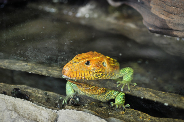 lizard w/orange head