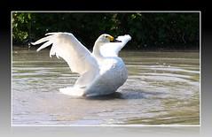 Very Gracious (stro11er) Tags: water birds fauna flying swan flora cygnet ducks chick landing wetlands trust arundel wwt wildfowl