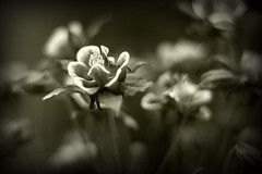 Clematis in a version of Sepia (tommy99) Tags: garden clematis