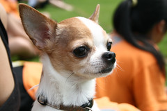 IMG_6754 (nicholas.blah) Tags: park dog lake canada chihuahua vancouver puppy ultimate britishcolumbia burnaby frisbee secondary macneill bcultimateprovincials