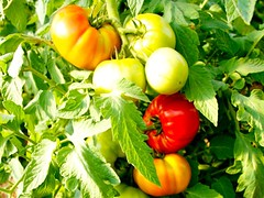 fourseason tomatoes