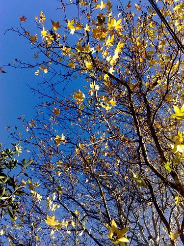 Liquid amber tree