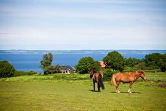 Horses with a view (Hkan Dahlstrm) Tags: sea horse brown field skne couple sweden f80 arild skane 2011 sklderviken canoneos5dmarkii sek ef2880mmf284lusm