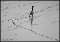 Follow Me! (Not On Facebook) - Terra Nova 7814e (Harris Hui (in search of light)) Tags: harrishui fujis3pro fujifilm fuji s3pro canadiangeese terranova nikon70300mm bird birdphotography beach footsteps makeacurveplease readingmymind smartgoose vancouver richmond bc canada vancouverdslrshooter bw blackwhite digitalbw mono monochrome followme onfacebook bemyfollowers flickr flickrites ontwitter onmyblog footprints followmyfootsteps