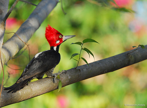 pica-pau-de-topete-vermelho (Campephilus melanoleucos) by Alessandro Abdala