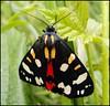 Scarlet Tiger Moth (Kevin Pendragon) Tags: bradfordonavon sundaystroll beautifulmonsters bbng
