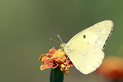 Colias Philodice (Johnnie Shene Photography(Thanks, 2Million+ Views)) Tags: butterfly butterflies insect insects bug bugs flies canon eos 600d rebel t3i kiss x5 macro zoom lens coliasphilodice colias cloudedsulphurbutterfly yellowsulphurbutterfly yellowbutterfly photography horizontal outdoor colourimage fragility freshness nopeople foregroundfocus adjustment fulllength sideview depthoffield feeding flower animal beautiful wonder awe bright luminosity korea tranquility tamron 90mm f28 11 magnified closeup