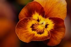 Viola - Honeybee (Paul Sibley) Tags: orange flower photoaday viola nikond60 3652014