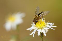 Hoverfly (Syrphus female) (ABPhotosUK) Tags: animals canon dartmoor devon ef100400mmisii ef25mmextensiontube eos7dmarkii garden hoverflies invertebrates macro nocrop syrphini wildlife syrphus