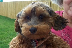 Roxie's first haircut (Julie Le Venhagen!) Tags: 2005 puppy mutt mix terrier poodle chewbacca yorkiepoo