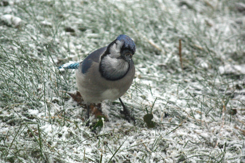 Blue Jay-4.jpg