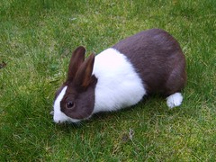 Rabbit (Nina ) Tags: blue brown white rabbit netherlands blauw konijn ede wit nederlands niederlande bruin