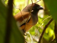 P1160248 - Copie (babsybou) Tags: travel india birds silent watching kerala du valley yatra sud inde attapadi birdswatching babsybou malleeshwaramjunglelodge pettickal