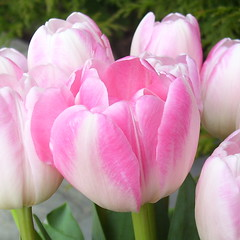Lovely Pink Tulips (Misty Jane) Tags: pink plant flower ngc tulip flowersarebeautiful